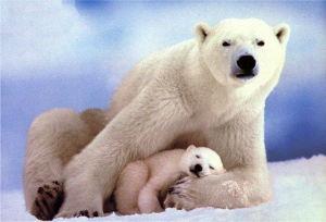 Polar Bears Displaying Physical Touch between Mother and Baby for Emotional Attachment; David Daniels and the Enneagram